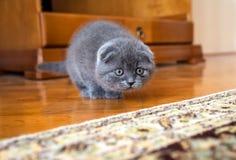 Gato escocês Imagens de Stock