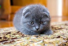 Gato escocês Imagem de Stock Royalty Free