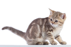Gato escocês bonito do gatinho do shorthair isolado Imagem de Stock Royalty Free