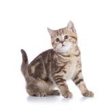 Gato escocês bonito do gatinho do shorthair isolado Fotos de Stock