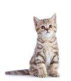 Gato escocês bonito do gatinho do shorthair isolado Imagem de Stock