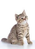 Gato escocês bonito do gatinho do shorthair isolado no fundo branco Foto de Stock Royalty Free