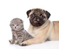 Gato escocês do abraço do cachorrinho do Pug Isolado no fundo branco Imagens de Stock Royalty Free