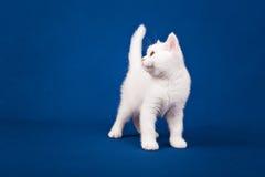 Gato escocês do puro-sangue Imagens de Stock Royalty Free