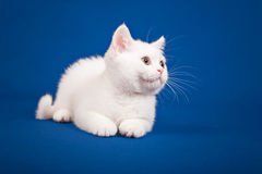 Gato escocês do puro-sangue Imagem de Stock
