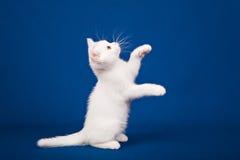 Gato escocês do puro-sangue Fotografia de Stock Royalty Free
