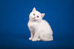 Gato escocês do puro-sangue Imagens de Stock