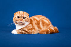 Gato escocês do puro-sangue Fotos de Stock