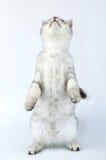 Gato escocês do Tabby que está nos pés traseiros foto de stock royalty free