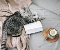 Gato escoc?s lindo del doblez que miente en cama Estilo escandinavo, hygge, concepto acogedor del fin de semana fotos de archivo