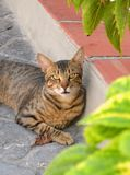Gato español Fotografía de archivo libre de regalías