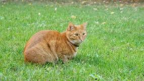Gato europeo rojo fotografía de archivo