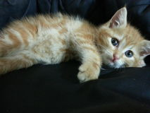 Gato europeo rojo Fotos de archivo libres de regalías