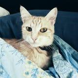 Gato europeo rojo Fotografía de archivo libre de regalías