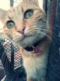 Gato europeo rojo Imagen de archivo