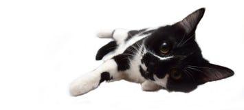 Gato europeu preto e branco Imagens de Stock Royalty Free