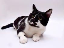 Gato europeu preto e branco Foto de Stock Royalty Free