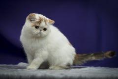 Gato exótico imágenes de archivo libres de regalías