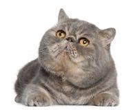 Gato exótico de Shorthair, 3 anos velho, encontrando-se Imagens de Stock