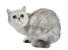 Gato exótico de Shorthair, 5 meses velho, sentando-se Foto de Stock
