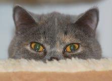 Gato exótico do shorthair Imagens de Stock Royalty Free