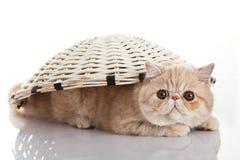 Gato exótico do shorthair. Brincalhão engraçado Imagens de Stock Royalty Free