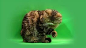 Gato exótico em um fundo verde vídeos de arquivo