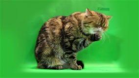 Gato exótico em um fundo verde filme
