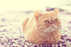 Gato exótico nacional Imagenes de archivo