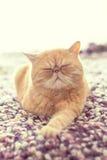 Gato exótico nacional Fotografía de archivo