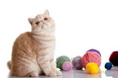 Gato exótico persa aislado con las bolas de diversos colores Fotografía de archivo