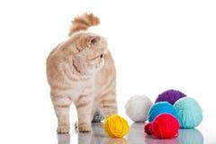 Gato exótico persa aislado con las bolas de diversos colores Imagen de archivo libre de regalías