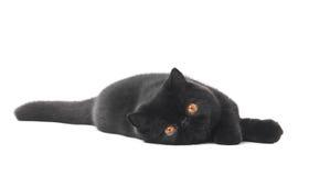 Gato exótico preto da vaquinha do shorthair fotografia de stock