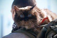 Gato excelente hermoso asustado con los ojos azules maravillosos imagen de archivo