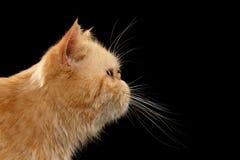 Gato exótico del jengibre del retrato del primer en la opinión del perfil sobre negro Foto de archivo libre de regalías