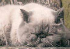 Gato exótico do shorthair Fotografia de Stock