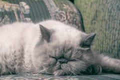 Gato exótico do shorthair Imagens de Stock
