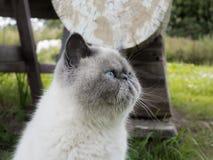Gato exótico do shorthair do retrato na natureza Fotos de Stock Royalty Free