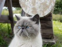 Gato exótico do shorthair do retrato na natureza Foto de Stock Royalty Free