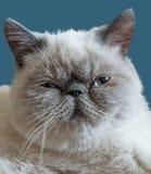 Gato exótico em uma obscuridade - fundo azul de Shorthair Fotos de Stock Royalty Free