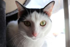 Gato eyed amarillo imagen de archivo libre de regalías