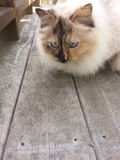 Gato Eyed azul Fotografia de Stock Royalty Free