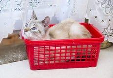 Gato Eyed azul imagenes de archivo