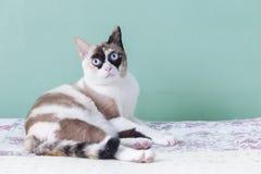 Gato Eyed azul Gato que miente en cama mirada del gato en la cámara con el fondo del color verde Gato tailandés imagenes de archivo