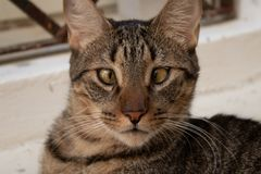 Gato eyed transversal que olha fixamente in camera foto de stock