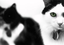 Gato Eyed verde Fotografia de Stock Royalty Free