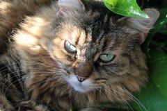 Gato fêmea do gato malhado peludo no jardim imagens de stock royalty free