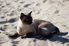 Gato fêmea Siamese que relaxa no Sandy Beach Imagens de Stock Royalty Free