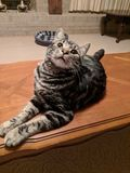 Gato feliz, vida do animal de estimação imagens de stock royalty free