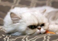 Gato femenino azul hermoso, gato hipoalérgico Animal que puede ser animal doméstico por la gente que es alérgica a los gatos imágenes de archivo libres de regalías